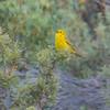 Yellow Warbler, Sardine Lake, Sierra County, CA, 9-June-2014