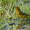 Yellow Warbler in Water Puddle