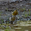 Two Yellow Warblers at Water Puddle