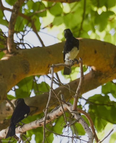 White-eared Barbet with Grosbeak Weaver