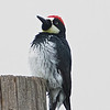 Acorn Woodpecker (male)