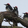 """The Three Musketeers"" - Acorn Woodpeckers"