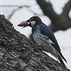 Acorn Woodpecker (female)