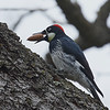 Acorn Woodpecker (female)