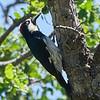 Acorn Woodpecker - Frank Raines Park