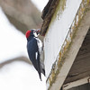 Acorn Woodpecker with Acorn on Water Tower