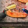 Black-cheeked Woodpecker and Red-legged Honeycreeper