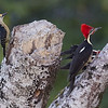 Black-cheeked Woodpecker with a Pair of Lineated Woodpeckers
