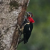 Lineated Woodpecker Pair