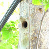 2016-05-28 Activity at a Nuttall's Woodpecker Nest