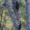 Williamson's Sapsucker with Red-breasted Sapsucker