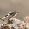 Rock Wren Shaking Up, Del Puerto Canyon, Stanislaus County, CA, 10-May-2014