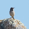 Rock Wren Near the Lighthouse