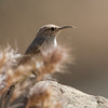 Rock Wren, Del Puerto Canyon, Stanislaus County, CA, 10-May-2014