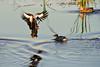 Black-bellied Whistling Duck in flight.   Sony Alpha 900