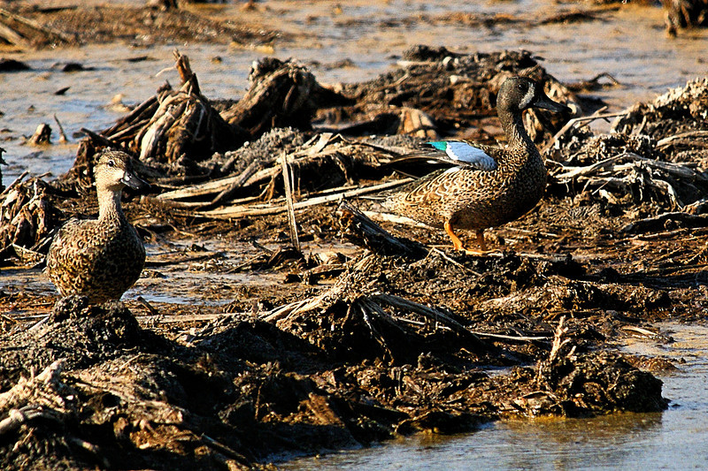 Blue-winged Teal.   Sony Alpha 350