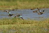 Blue-winged Teal in flight.   Sony Alpha 350
