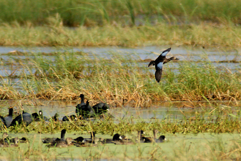 Male Blue-winged Teal in flight.   Sony Alpha 350