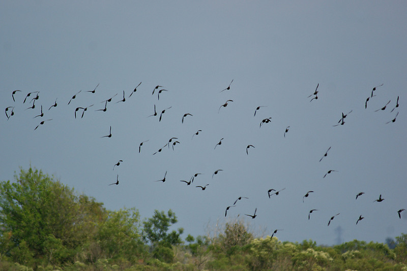 Primarily Blue-winged Teal in flight.   Sony Alpha 350