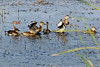 Black-bellied Whistling Ducks.   Sony Alpha 350