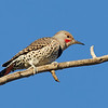 Northern Flicker (intergrade male) - some red on nape, red whisker, gray crown, brownish area just above eye