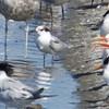 Common Tern (juvenile or 1st year bird)