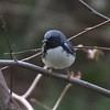 Black-throated Blue Warbler (male)