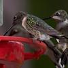 Ruby-throated Hummingbirds.