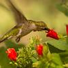 Ruby-throated Hummingbird shat at Gulf Coast Bird Observatory on 092612.  Flash.