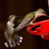 Ruby-throated Hummingbirds.  Female on feeder and immature male behind.  Flash.