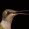 Ruby-throated Hummingbird female portrait.  Shot on oldest son's back porch on Lake Livingston.  Flash.