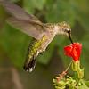 Ruby-throated Hummingbird female.  Shot at Gulf Coast Bird Observatory on 092612.  Flash.