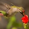 Ruby-throated Hummingbird shot at GCBO on 092615.  Flash.
