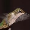 Flash.Ruby-throated Hummingbird female.  Flash.