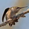 Ruby-throated Hummingbird female.  No Flash.