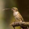 Ruby-throated Hummingbird shot at GCBO on 092612. No Flash.