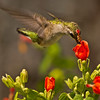 Ruby-throated Hummingbird feeding on Turk's Cap.