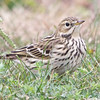 Red-throated Pipit #2 right side, Arrowhead Marsh, Alameda County, 24-Oct-2013