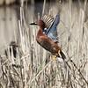 Cinnamon Teal - Male Taking Flight