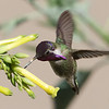 Costa's Hummingbird in Del Puerto Canyon.  They pierce the lower side of the tobacco tree flowers to get to the nectar.  Pretty cool!