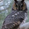 Long-eared Owl at Mercey Hot Springs