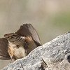 The 'other end' of a Rock Wren