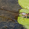 Damselfly - Pacific Forktail (female)?, Cosumnes River Preserve, 25-May-2013