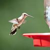 Female Black-chinned Hummingbird, Cosumnes River Preserve, 25-May-2013