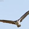 Osprey, Cosumnes River Preserve, 25-May-2013
