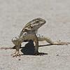 Lizard, Cosumnes River Preserve, 25-May-2013