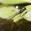 Damselfly - Pacific Forktail, Cosumnes River Preserve, 25-May-2013
