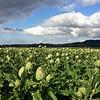 Artichokes Glistening in the Sun, Ano Nuevo CBC, 2012-12-29
