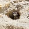 Bank Swallow, Ano Nuevo -- Cove Beach, 21-May-2013