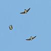 Bank Swallows in flight, Ano Nuevo -- Cove Beach, 21-May-2013